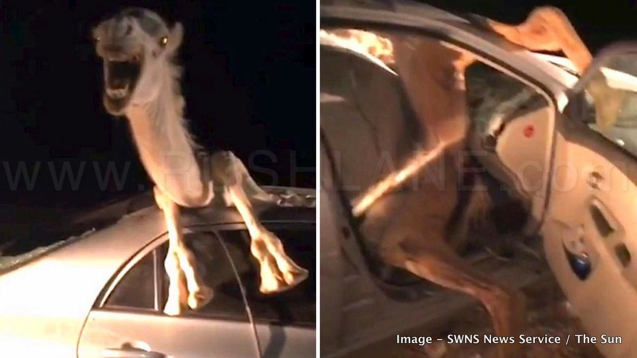 toyota corolla cut open to rescue camel after an accident - video
